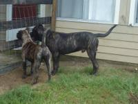 1 Males all brindle with black masks available! Born