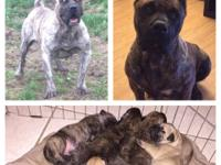 Presa Canario Pups For Sale In California Classifieds Buy And Sell