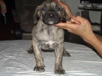 i have 7 presa canario pups with great drive and