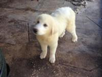 Presley is a very handsome Great Pyrenees puppy He has