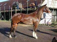 Jessie is a 15hh, 5yr old mare by Grade B Skewbald