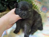 """Clare"" - Pretty AKC Brindle Parti Female Pomeranian"