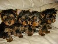 Adorable  males  and females available for a