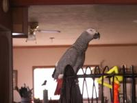 Female african grey parrot, 6 years old. She is a very