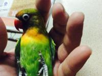 meyer's parrot $200 s/s male pair of Eclectus, they