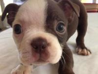 This sweet little chocolate Boston Terrier will be