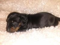 Two daschshunds puppies moniature, a black and tan male