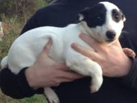 This little girl is a smooth coat Jack Russell. She is