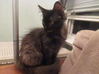 Beautiful female Maine Coon kitten 12 weeks old. She is