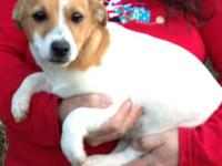 This girl is a smooth coat Jack Russell Puppy. She is