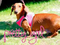 Pretty Girl is a seven-year-old dachshund who was