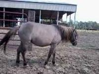 Very gentle, 8 year old minature pony. She is a grulla