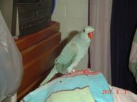 Very sweet, loving baby Blue ringneck, loves to be
