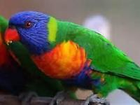 I HAVE PRETTY RAINBOW LORIKEETS PARROTS, PAIR, MALE AND