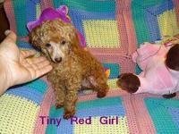 Beautiful little Red Toy Poodle girl, placed as a Pet