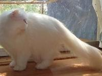 Pretty White Persian Blue eyes 2 years old not