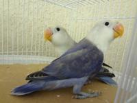 Hello, I have some beautiful young lovebirds for sale.
