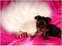 Pretty T-Cup Yorkie PuppiesText at (647) 794-6892 Cute