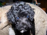 I have a black female schnoodle puppy that is 3 months