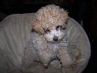 I have a cute affectionate toy schoodle male puppy that