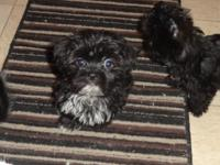 we have a two male ckc shorkies (yorkie/shih-tzu cross