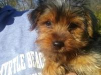 12 Week Old Male Yorkie. $350.00. I am reducing the