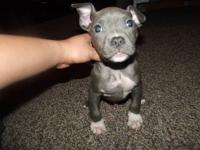 I have 2 young American bully pups Ukc reg the male pup
