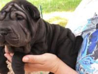 AKC Chinese Shar-Pei Puppies for Sale - we have 3