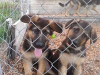PRICE REDUCED!!! Full AKC Registration, Only 3 males