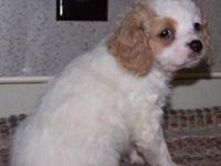 Cavachon Puppy born 12-5-12. She has the shedding