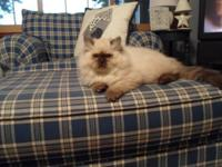 CFA registered seal point Himalayan kittens blue eyes,
