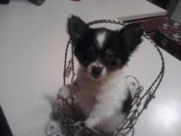 He is a black and white long haired chihuahua. He is