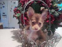 He is a chocolate and tan long coat chihuahua male