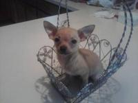 She is a red fawn tea kupp chihuahua. She weighs 1