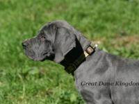 European Blue Great Dane Puppies  Male and females