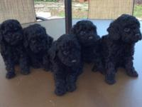 Price Reduced - CKC Registered Poodle Puppies Born