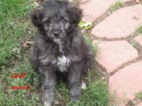 1 miniature Awessiedoodle looking for his forever home.