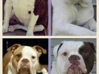 I have 2 litters of olde english bulldogge puppies,