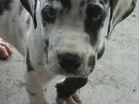 We have a lovely blue eyed 8 week old harlequin male