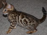 TICA, Rosetted Mini Leopard, Lifetime Health Guarantee,