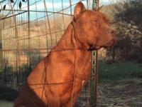 Gorgeous, Stunning Rednose Puppies! Great Temperament,