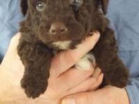 PRICE REDUCTION!!! These beautiful Aussiepoo puppies