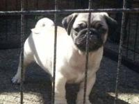 My lovely pug has produced some lovely chunky quality