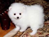 Light Cream Female Pomeranian, she is so sweet
