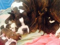 I have 11 stunning boxer young puppies i am taking down