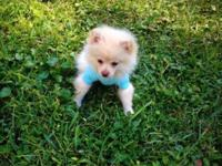 Prince a Super Tiny Pomeranian Puppy 12 weeks old