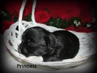 Little Princess is an adorable AKC registered Lhasa