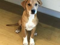 Princess is a beautiful 3 month old female Labrador
