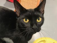 Princess Meow is a black female Domestic Shorthair mix.