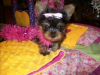 Our 4&& 1/2 purebred ACA/CKC signed up silver Yorkie